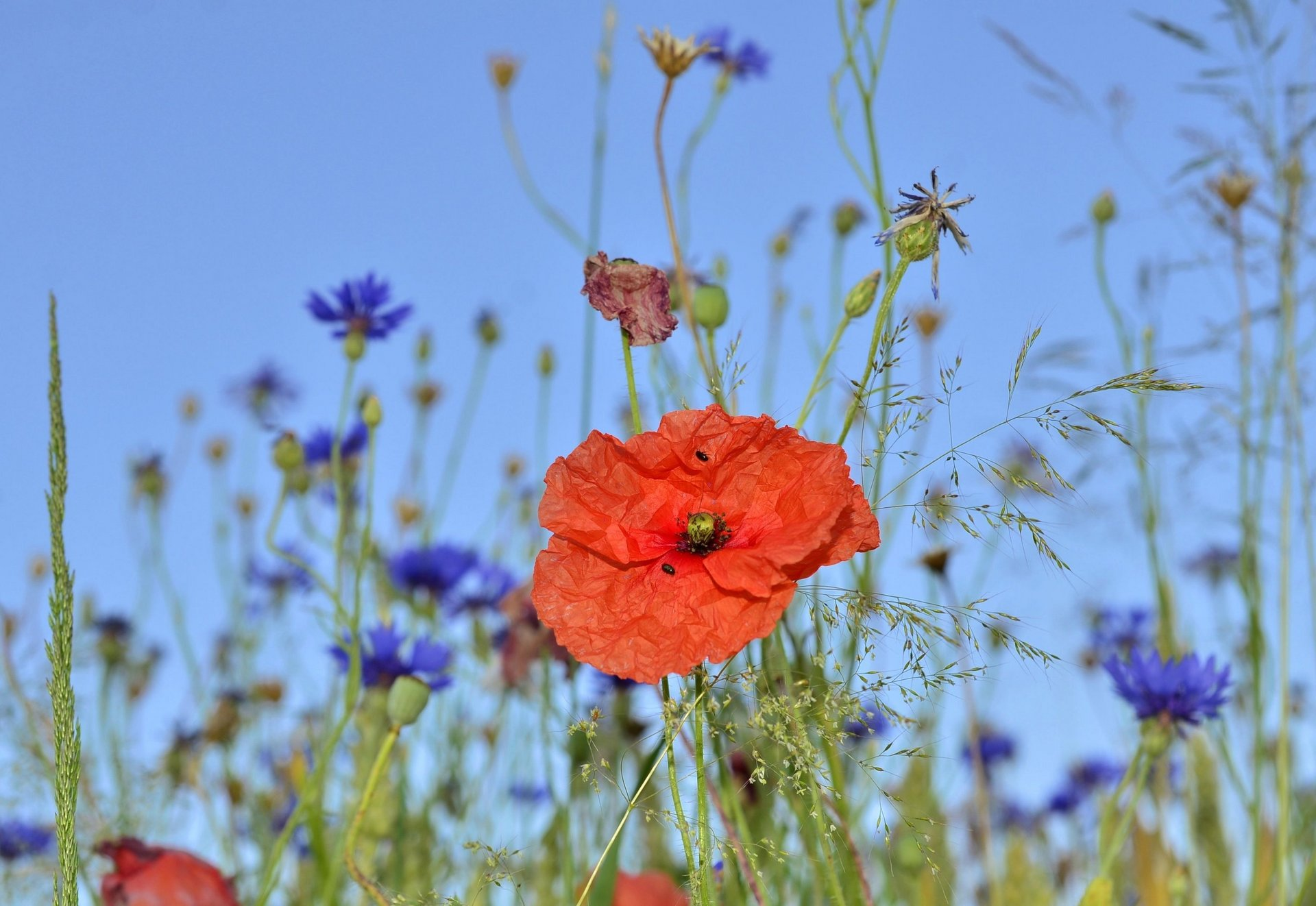 Mohn in Kornblumenwiese in Bodnegg